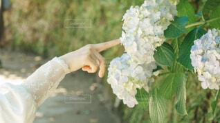 白の紫陽花の写真・画像素材[4559617]