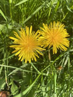 自然,春,黄色,たんぽぽ,草木,きいろ,タンポポ