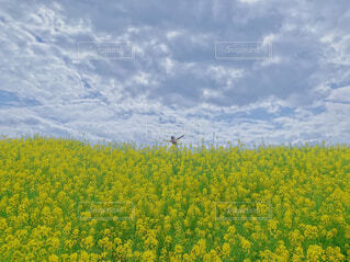 菜の花畑の上の私の写真・画像素材[4306757]
