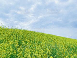 空と沢山の菜の花畑の写真・画像素材[4306800]