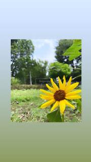 花,ひまわり,黄色,草木