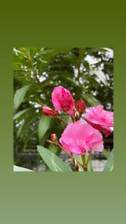 花,バラ,花びら,薔薇,フローラ