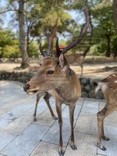 土の中を歩いている鹿の写真・画像素材[4677606]