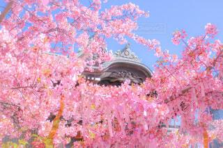 桜神宮の写真・画像素材[4236866]