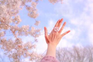 桜のリング🌸の写真・画像素材[4243314]
