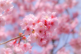 ハートの桜の写真・画像素材[4258657]