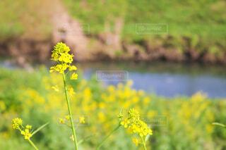 菜の花の写真・画像素材[4296656]