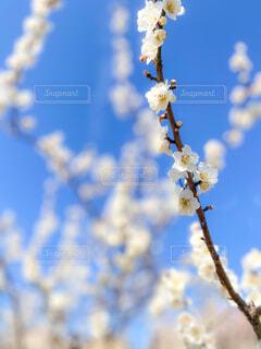 白梅の写真・画像素材[4353482]