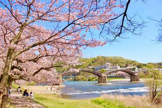 山口県の岩国市の錦帯橋を飾る満開の桜の写真・画像素材[4230804]
