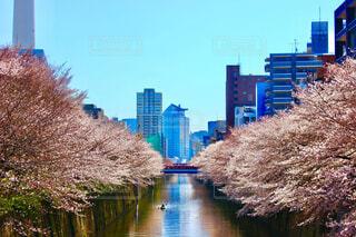 目黒川の両端にかかる枝垂れ桜の写真・画像素材[4237298]