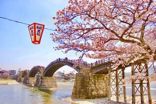 山口県は岩国市の錦帯橋をのぞむ満開の桜の写真・画像素材[4237299]