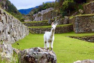 マチュピチュ遺跡にいた可愛いリャマの写真・画像素材[4252737]