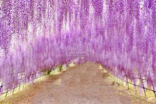 福岡県の河内藤園の藤棚の写真・画像素材[4263522]