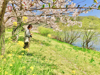 山口県の錦帯橋で桜散策の写真・画像素材[4271189]