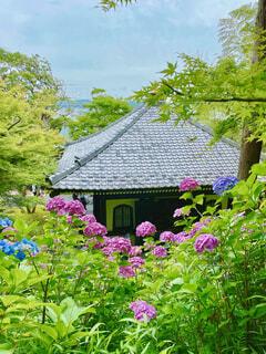 長谷寺の紫陽花の写真・画像素材[4558109]