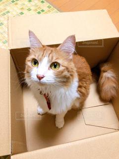 猫,動物,屋内,ペット,人物,可愛い,段ボール,ネコ,ネコ科の動物