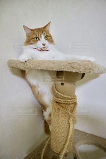 猫,動物,屋内,白,茶色,ペット,人物,可愛い,ネコ