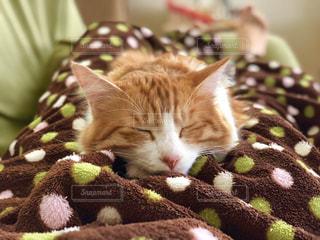 猫,動物,屋内,かわいい,寝転ぶ,ペット,寝る,人物,毛布,ネコ