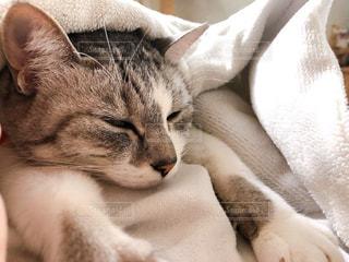 猫,動物,屋内,ペット,人物,可愛い,ネコ,ネコ科の動物
