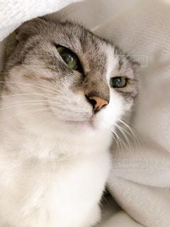 猫,動物,屋内,白,かわいい,ペット,人物,座る,目,ネコ,ネコ科の動物