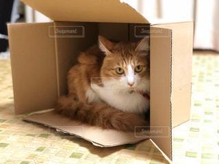 猫,動物,屋内,白,ペット,人物,座る,段ボール,ネコ,ネコ科の動物