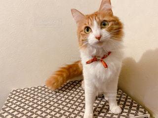 猫,動物,白,茶色,ペット,人物,可愛い,ネコ,ネコ科の動物