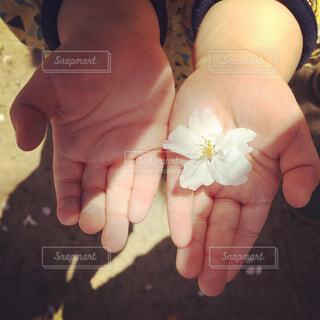 小さい手と大きめの桜の写真・画像素材[4272166]