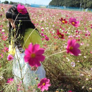 コスモス畑を歩く女の子の写真・画像素材[4333910]