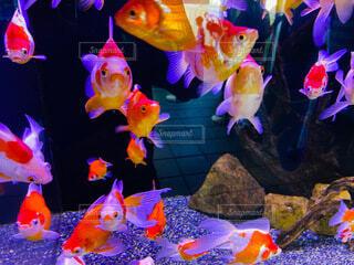 金魚の営業の写真・画像素材[4685586]