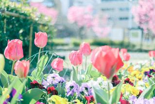 チューリップのある花壇の写真・画像素材[4272117]