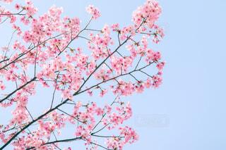 桜と青空の写真・画像素材[4272118]