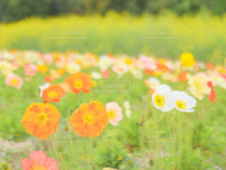 菜の花を背景にしたお花畑の写真・画像素材[4310030]