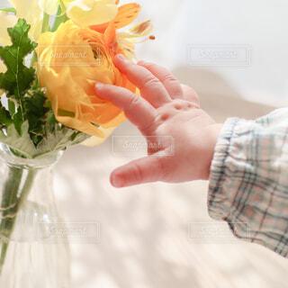 黄色のお花を触ろうとしている赤ちゃんの手の写真・画像素材[4310031]