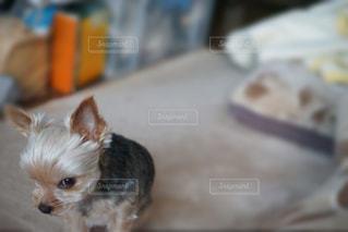 茶色と白の小型犬の写真・画像素材[731586]