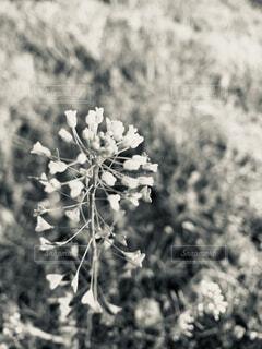 ナズナの写真・画像素材[4273463]