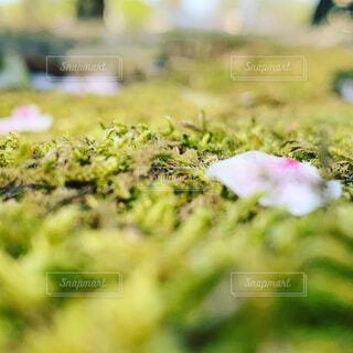 ミドリの敷物にヒトヒラのハナビラの写真・画像素材[4305006]
