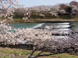 河川沿いの綺麗な春の花が咲いたの写真・画像素材[4303040]
