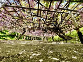 自然,空,花,屋外,青,青い空,藤,福岡