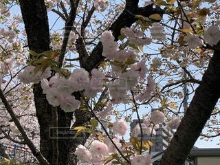 花,春,屋外,葉,樹木,草木,桜の花,ブルーム,ブロッサム