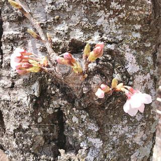 幹からはえる桜の写真・画像素材[4275018]
