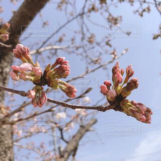 桜のつぼみとそらの写真・画像素材[4275019]