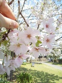 桜の枝を摘まむ手の写真・画像素材[4283034]