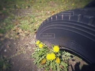 タイヤの遊具の根本に咲くたんぽぽの写真・画像素材[4283760]