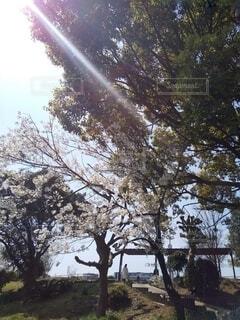 晴れた日の公園の桜の写真・画像素材[4286589]