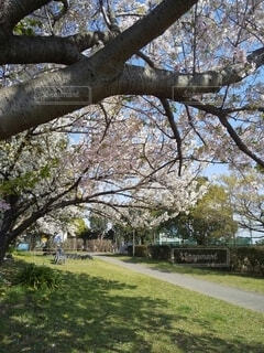 公園の桜と青空の写真・画像素材[4297105]