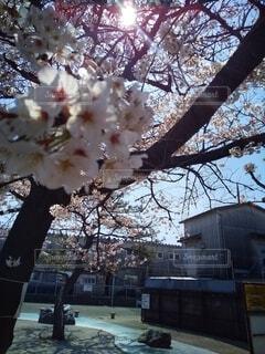陽射しの中の桜の写真・画像素材[4308137]