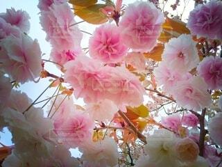 八重桜のクローズアップの写真・画像素材[4319578]
