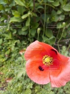 ナガヒナゲシの花のクローズアップの写真・画像素材[4324777]