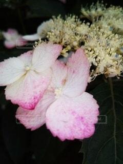 アジサイの花のクローズアップの写真・画像素材[4518244]