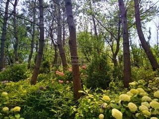 林の中の紫陽花の写真・画像素材[4551296]